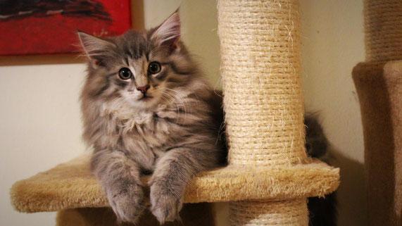 Norwegische Waldkatze Kitten Charles von Halterbach