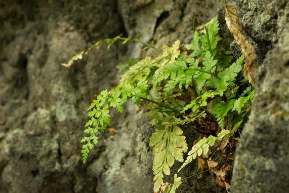Schwarzstieliger Streifenfarn (Asplenium adiantum-nigrum) (Foto: Rea Brinkhoff)