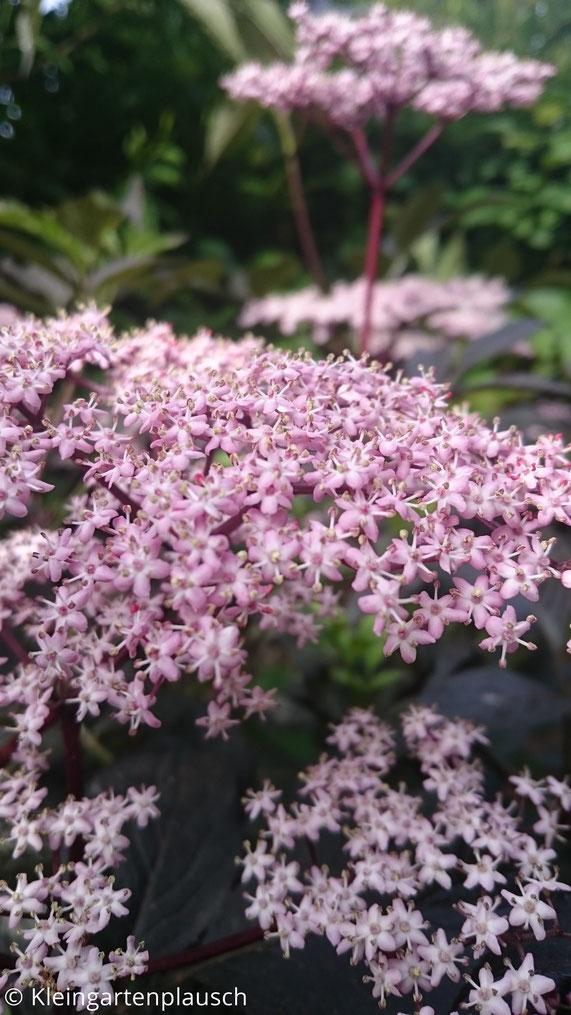 Blüten vom schwarzen, schwarzlaubigen Holunder
