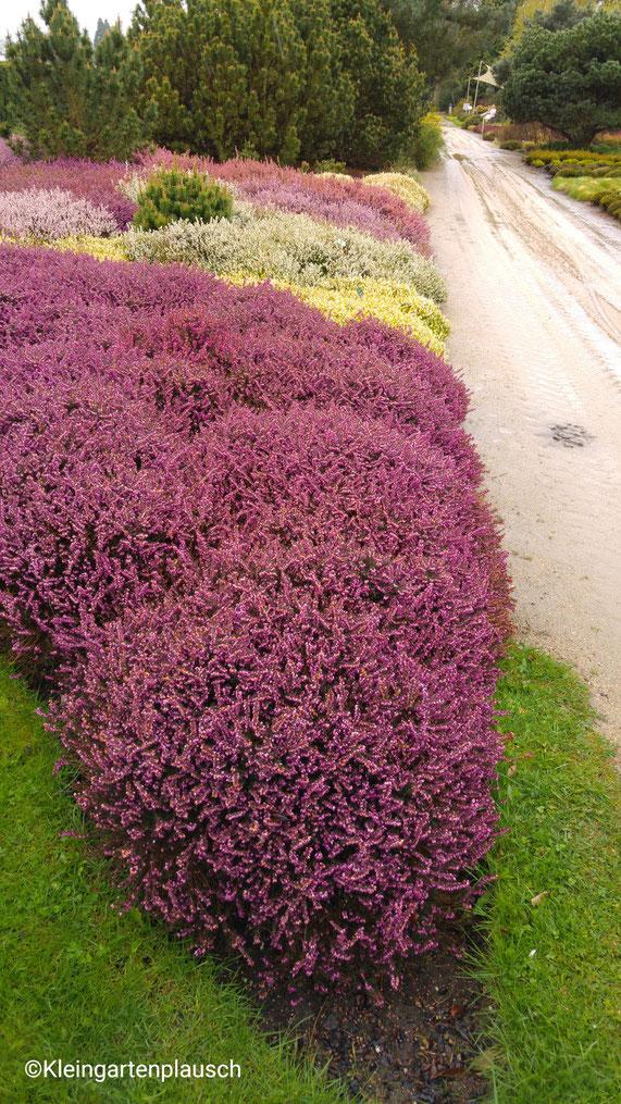 Heide ist eh eine meiner liebsten Pflanzen und dies Farbspiel war inspirierend...