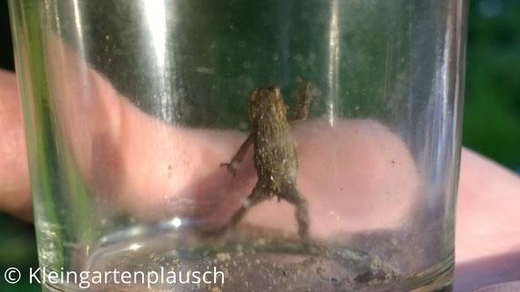 Minikröterich in Miniglas aufrecht stehend, an Glaswand kratzend