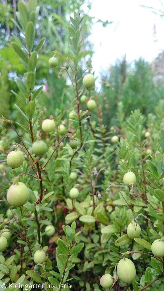 Viele grüne Cranberries an einer kleinen heidegroßen Pflanze