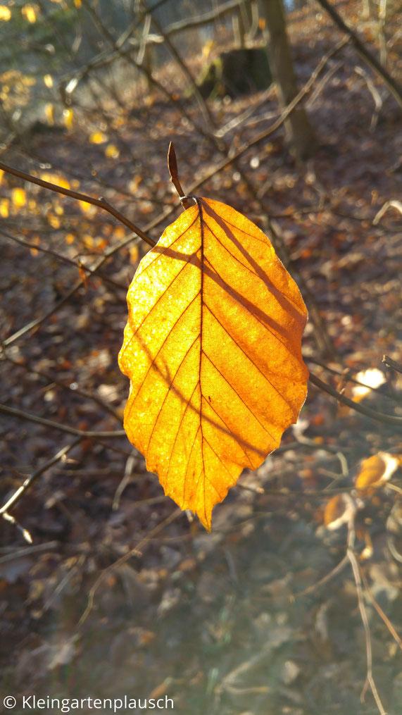 Goldorange von der Sonne beschienenes einzelnes Blatt, bei dem man Blattadern sieht