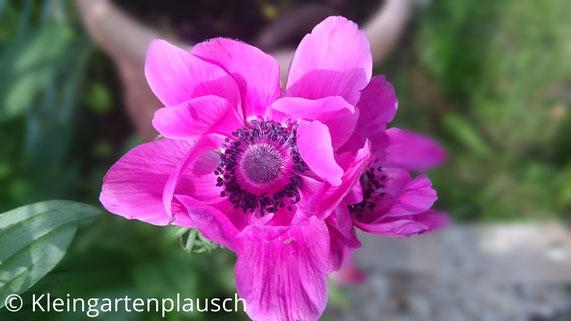 Große pinke Blüte einer Anemone de Caens