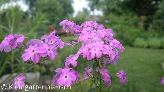 Zartrosa-violett  blühender Phlox glaberrima