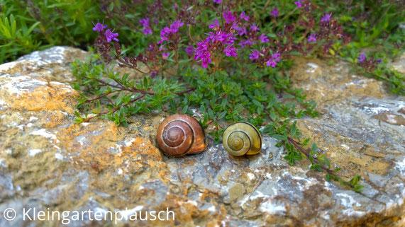 Zwei Gehäusleschnecken im Häuschen auf Stein der Kräuterblume