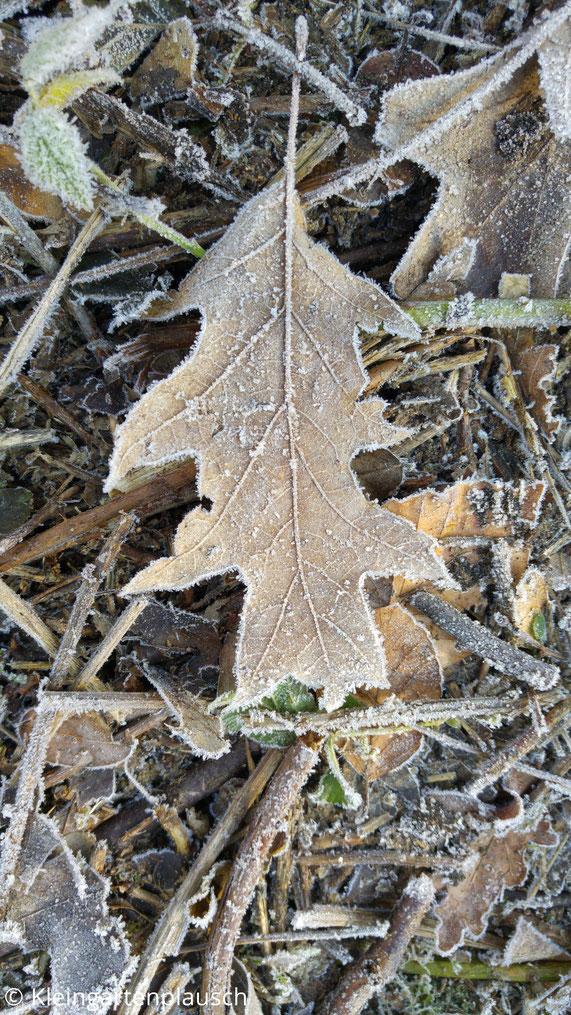 Blätter mit Raureif überzogen auf dem Waldboden, Eichenblatt in der Mitte