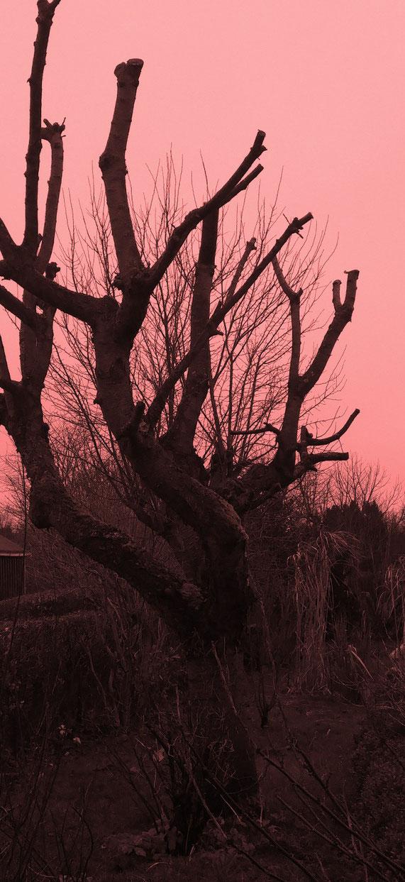 Abgebildet ist eine Kirschbaumruine - das Bild ist gerötet, um unkenntlicher zu machen, wo es aufgenommen wurde