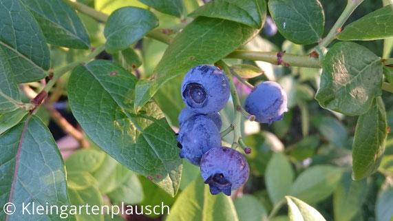 Rispe mit Blaubeeren an der Pflanze