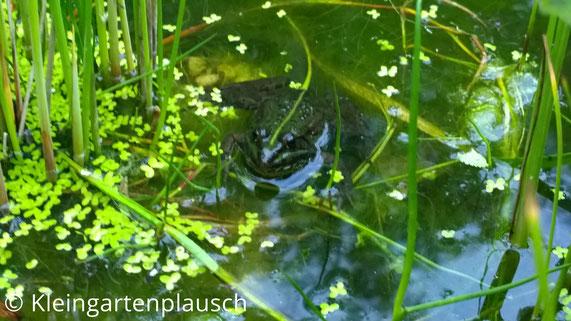 Wieder Frosch in Entengrütze vor Binsen schwimmend