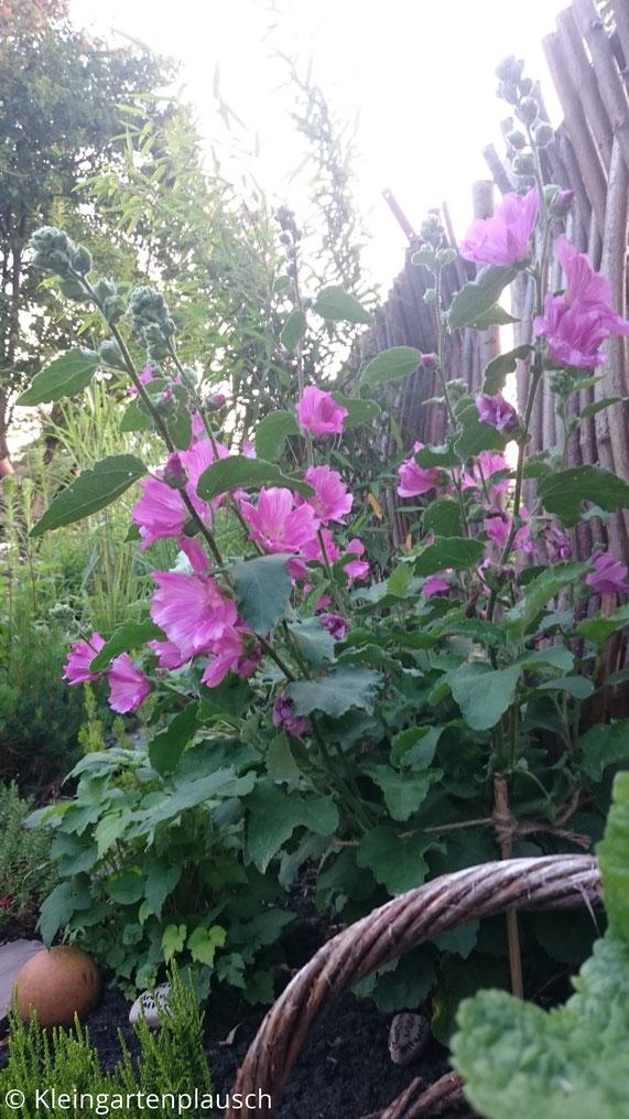 Diese Malve ist weniger etwas für Blattschmuckfreunde wie mich, aber ihre Blüten sind prima!