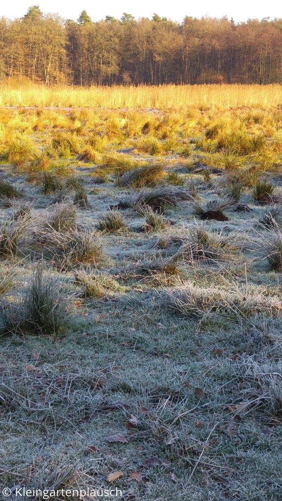 Ilmenauwiese mit Binsen, Gräsern, Maulwurfshaufen und Wald am Horizont