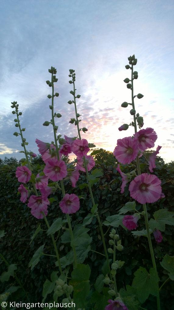 Rosa Stockrosen vor Sonnenuntergangshimmel