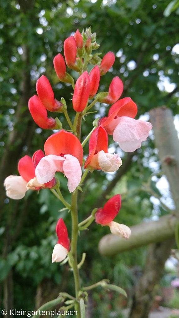 Rotweiße Feuerbohnenblüten