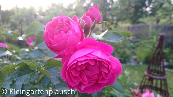 Gefüllte rosa Hochstammrose - 4 Blüten - Moin-Moin