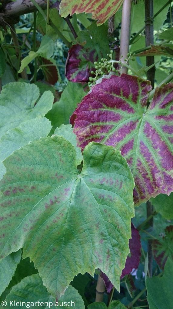 Blick auf große Weinblätter, dahinter Rispe mit unreifen winzigen Trauben