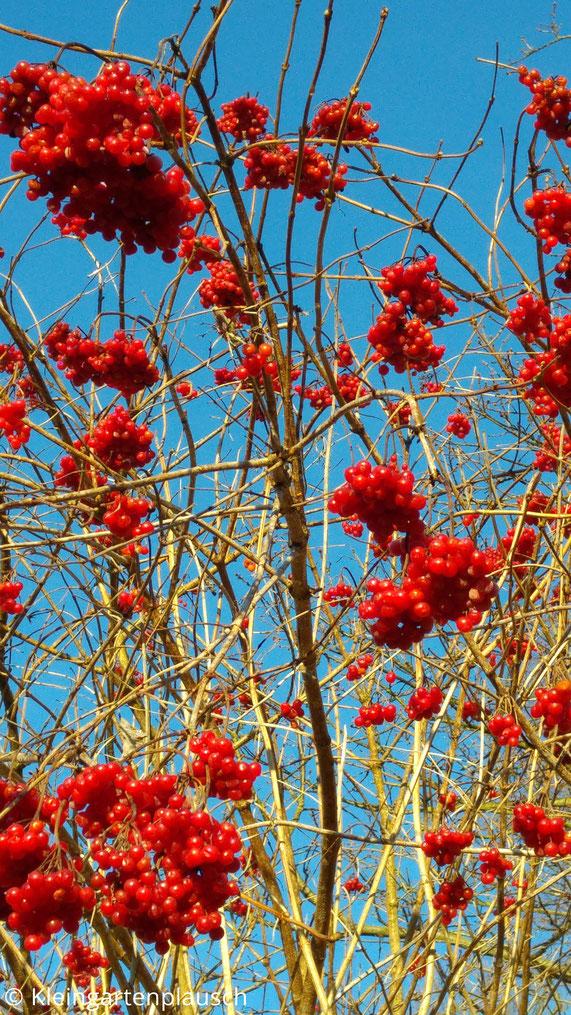 Busch mit leuchtend hellroten Beerenbündeln