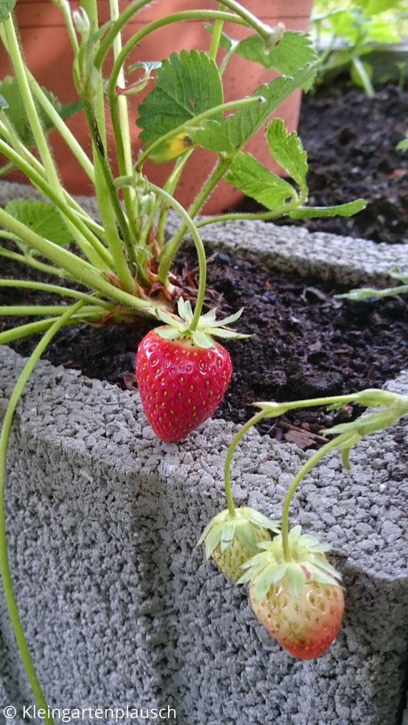 3 Erdbeeren an einer Pflanze, 1 reif und 2 unreif