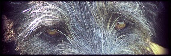 Vielversprechende Scottish Deerhound Welpen aus Liebhaberzucht! Deerhound Welpen aus eingetragener, geschützter FCI, VDH, DWZRV Zuchtstätte!
