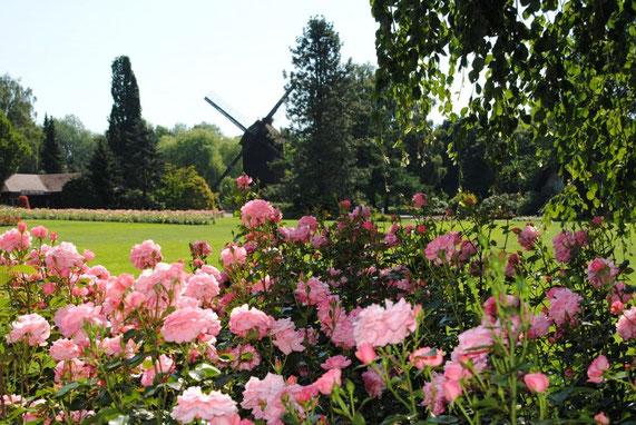 Rose blühende Rosenbüsche vor einer Rasenfläche, umsäumt von Bäumen und im Hintergrund eine Windmühle im Vogelpark Walsrode