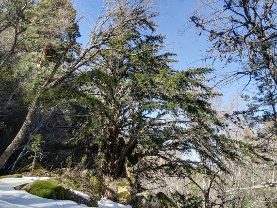 Canencia De La Sierra Arboles Singulares De La Comunidad De Madrd