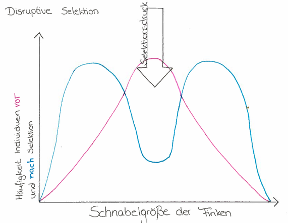 Abb. 2: disruptive Selektion