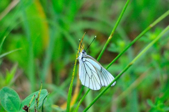 _DSC4468_Le Gazé-Aporia crategi-Pieridae