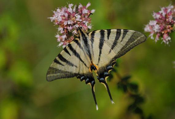 _DSC5998-Le flambé-Iphiclides podalirius-Papilionidae