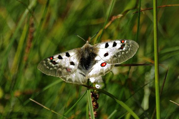 _DSC5299_Apollon-Parnassius apollo-(Cormet de Roselend)_Papilionidae