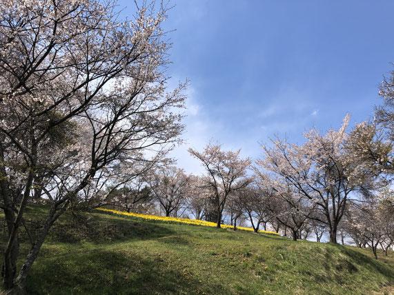 この世界中の事態は現実のことだろうかと呆然としながらの春。ひとけのない公園に立ち寄ると今年もきちんと花が咲いていた。