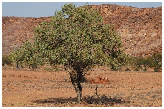 Boscia albitrunca de Namibie