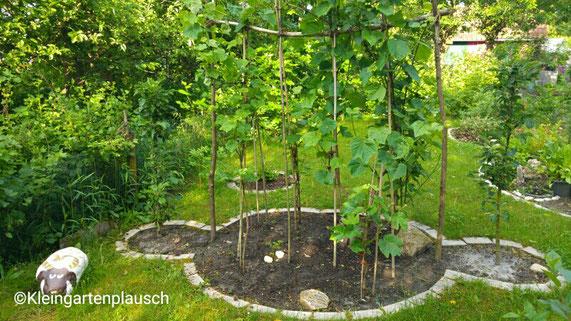 Weinspalier mit Säulenäpfeln