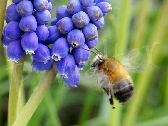 Bild: Frühlings-Pelzbiene, Anthophora plumipes