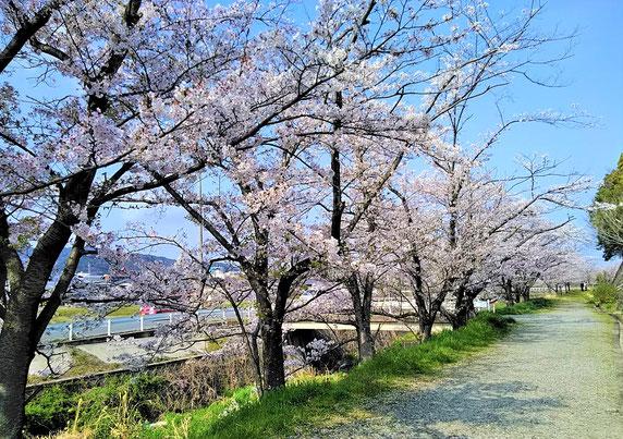 千里川沿いの桜・満開。         共に4/1撮影