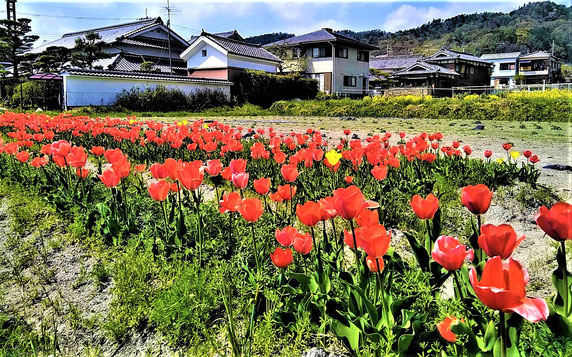道沿いの田んぼでチューリップ満開(景観用に植栽。石丸地区)