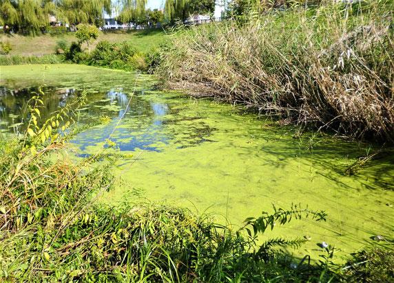 一面の浮き草と水辺の草の繁茂・・水質悪化の結果とみられ、またこれらが水中に沈み水質悪化を促進。