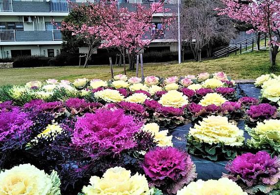 春まで葉ぼたんが美しい「花咲か公園」(向こうは早咲き桜。昨年3/7撮影。「園芸ファーム」育成)