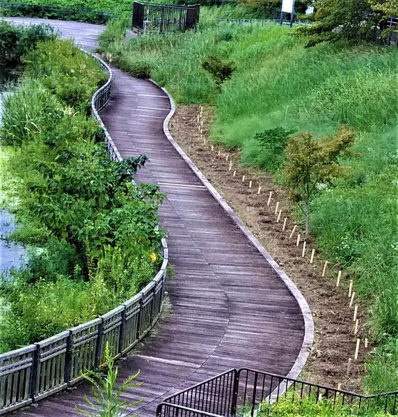 池を巡る木道沿い約50mに植えられたスイセン(木杭が目印)