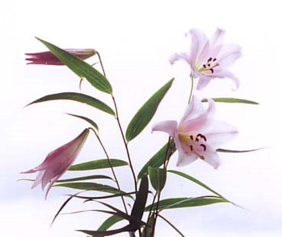 ササユリの花(箕面市HPから)