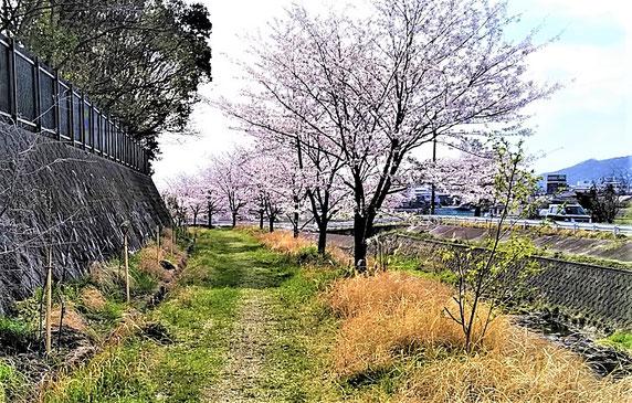 """川から離れて植えられた今回の苗木(左の崖下)。でもやがては""""桜のトンネル""""になるでしょう・・。"""