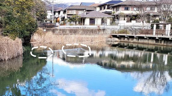 小さな池にも水鳥(箕面東公園の墓の谷池。この1月3羽。昨シーズン8羽)