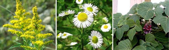 「問題植物」となっている(左から)セイタカアワダチソウ、ヒメジョオン(以上問題のある外来種)、クズ(過繁茂)ーこれらを克服しないと新しくお花を植えるのも難しい