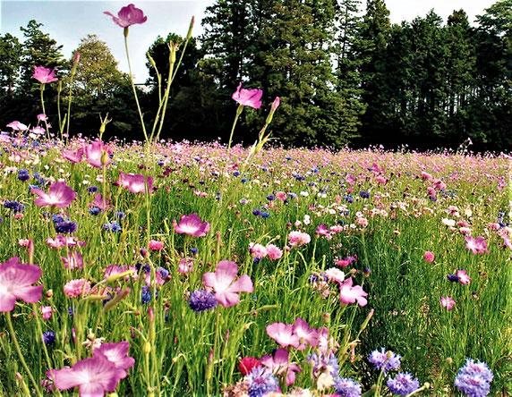 """""""たねダンゴ""""による多彩なお花畑(秋まきの例。(株)サカタのタネ HPから)。   もちろん、鉢や花壇など、単独の花株として植えるのもOK。"""