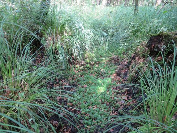 Het Adderbroekbos in de droge zomer van 2018, maar nu nog met Waterviolier.