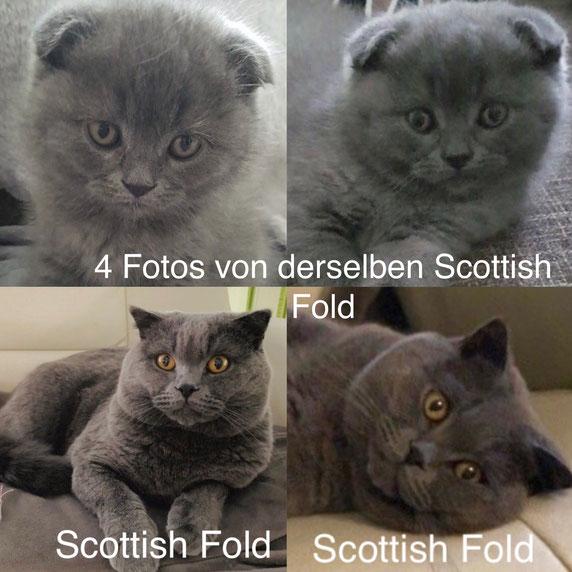 Das Gen für Faltohren verhält sich dominant - mit unvollständiger Penetranz, das Bild zeigt vier Fotos von ein und derselben Scottish Fold Katze, zwei im Kittenalter, zwei im Erwachsenenalter