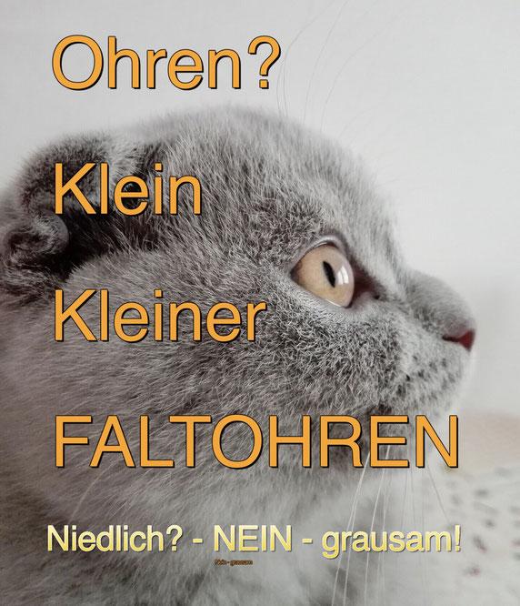 Scottish Fold, Faltohrkatzen, in Deutschland nicht erlaubt