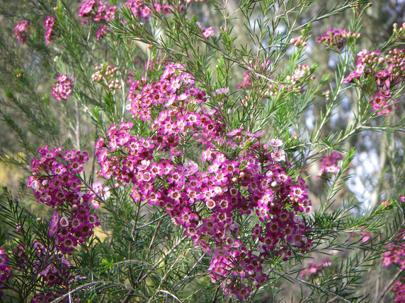 Geraldton Wax in bloom.