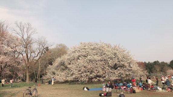 この木なんの木ふう。