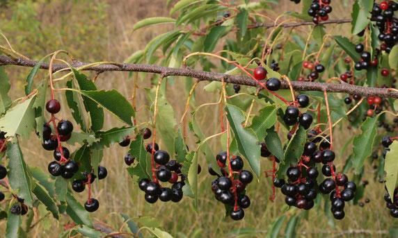 Die Beeren der Traubenkirsche sind - wie der Name schon sagt - in Trauben angeordnet. Das unterscheidet sie vom giftigen Faulbaum. Foto: Jutta Over