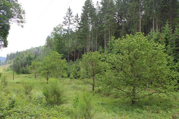 Obstbäume im Stromtrassenverlauf bei Diemerstein